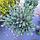 Сосна звичайна 'Ватерері'/Pinus sylvestris 'Watereri'  h 1,0-1,2 м, фото 3