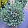 Сосна звичайна 'Ватерері'/Pinus sylvestris 'Watereri'  h 1,0-1,2 м, фото 2