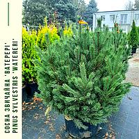 Сосна звичайна 'Ватерері'/Pinus sylvestris 'Watereri'  h 1,0-1,2 м, фото 1