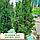 Тис середній 'Хіксі'/ Taxus media 'Hicksii'h 1,3-1,4 м, фото 5