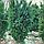 Тис середній 'Хіксі'/ Taxus media 'Hicksii'h 1,3-1,4 м, фото 4