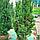 Тис середній 'Хіксі'/ Taxus media 'Hicksii'h 1,3-1,4 м, фото 3