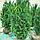 Тис середній 'Хіксі'/ Taxus media 'Hicksii'h 1,3-1,4 м, фото 2