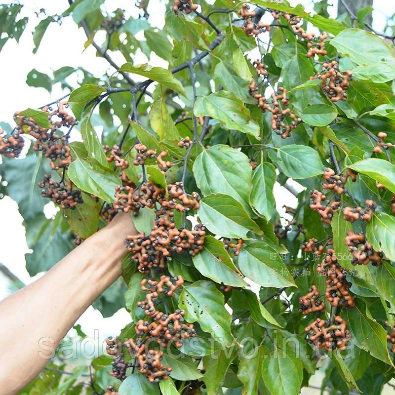 Говения ( конфетное дерево) саженцы
