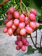 Саженцы винограда Анюта(ягоды крупные,урожайный,-23)