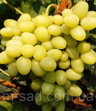Виноград  Аркадия(ранний,гроздь крупная,-21), фото 2