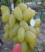 Саженцы винограда Божена(й,столовый,ранний,грозди крупные,-21)