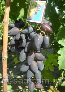 Саженцы винограда Викинг(столовый,ранний,крупный,-21)