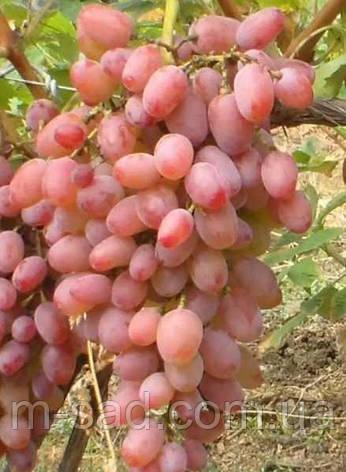 Саженцы винограда Гелиос(урожайный,крупный,сладкий с легкой кислнкой,-23), фото 2