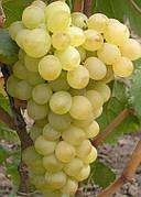 Саженцы винограда Восторг светлый(устойчивый к болезням,арочный-25)