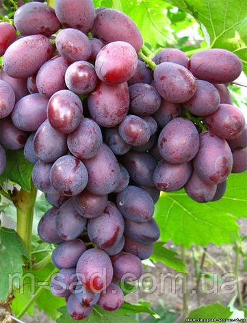 Саженцы винограда Дунав(ранний,крупный,-18), фото 2