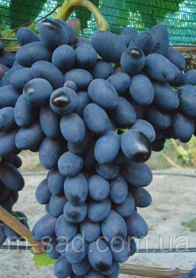 Виноград  Кодрянка(столовый,крупный,вкусный,-22)