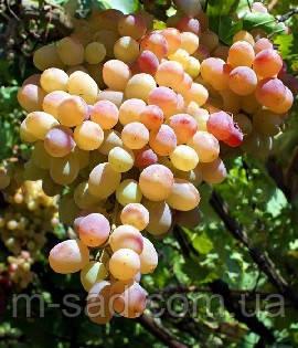 Виноград  ЛИЯ(ранний,цветок обоеполый,урожайный,-21)