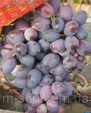 Саженцы винограда ОРИОН(очень ранний,арочный,крупный,-23)
