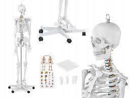 Объемный анатомический скелет человека 176 см + плакат