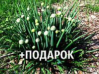Лук-батун семена 10 шт (татарка, дудчатый, Allium fistulosum) цибуля насіння