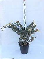 Ялівець лускатий Голден Флейм, Можжевельник чешуйчатый Голден Флейм, Juniperus squamata Golden Flame