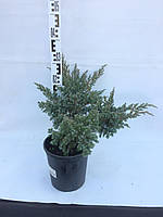 Ялівець лускатий Майері, Ялівець чешуйчатый Майери, Juniperus squamata Meyeri