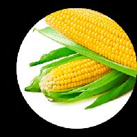 Дайнерис F1 (Барселона F1) кукуруза супер сладкая Мнагор 100 000 семян