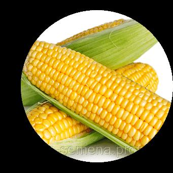 Фиона F1 (Сладкая мечта F1) кукуруза супер сладкая Мнагор 100 000 семян