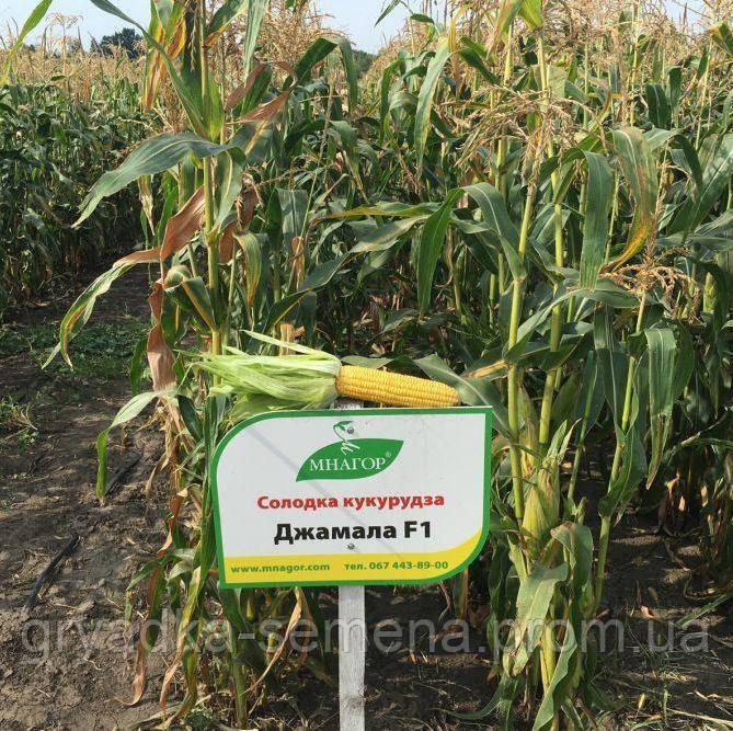 Джамала F1 кукуруза супер сладкая Мнагор 4000 семян