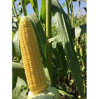 Багратион F1 кукуруза супер сладкая Мнагор 4000 семян