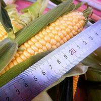 Орландо F1 (Византия F1) кукуруза супер сладкая Мнагор 1000 семян