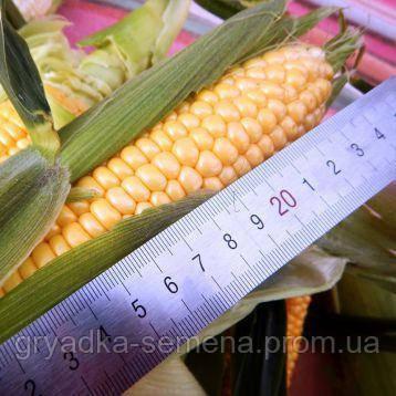 Орландо F1 (Византия F1) кукуруза супер сладкая Мнагор 100 000 семян