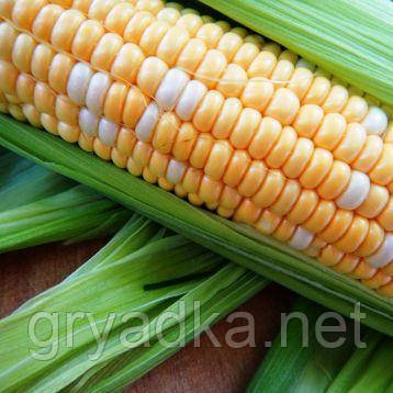 Мраморная F1 биколор кукуруза супер сладкая Мнагор 100 000 семян
