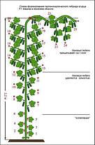 Семена огурца Мамлюк F1 (Гавриш), 500 семян — партенокарпический корнишон, ранний (38-43 дн.), фото 3