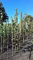 Бамбуковий стовбур, опора діам.16-18мм, L 2,1 м, фото 1