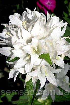 """Колокольчик скученый """" Генти Вайт """" \ Campanula glomerata ( саженец р9), фото 2"""