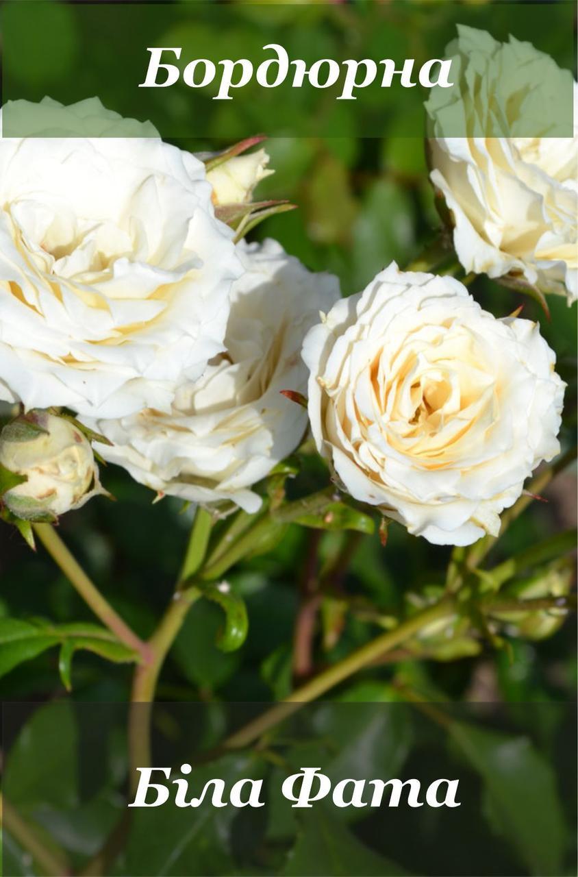 Бордюрна троянда: Біла Фата