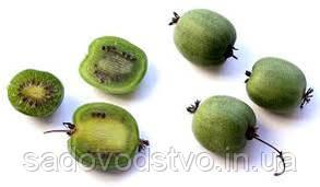 Семена актинидии Киевская круплоплодная