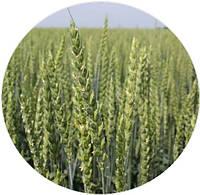 Насіння озимої пшениці Богемія (СН-1)