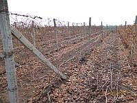 Саженцы  технического  винограда Мускат  белый