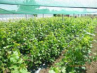 Саженцы винограда  Кокур  белый