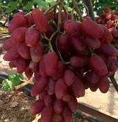 ДУБОВСЬКИЙ РОЖЕВИЙ(гроно 1-1,5 кг,ягода велика,соковита)