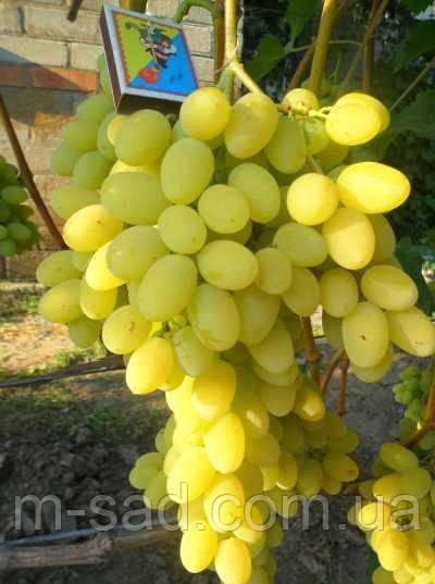 Саженцы винограда ПЛЕВЕН(столовый,вкус гармоничный,урожайный)
