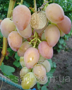 Саженцы винограда ПОДАРОК УКРАИНЕ(столовый,вкус гармоничный,ранний)