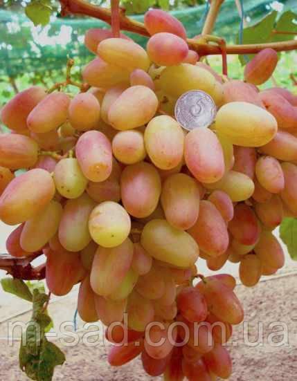 Саженцы винограда ПРЕОБРАЖЕНИЕ(очень ранний,очень крупный,-24)