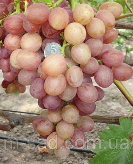 Саженцы винограда ПРОМЕТЕЙ(крупный,мускатный,вкусный)