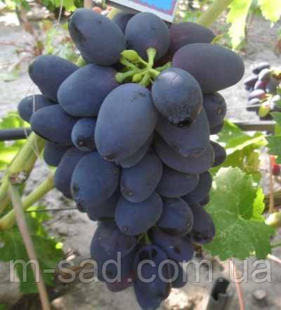 Виноград  РАДА(ранний,крупный,гармоничный,-21)