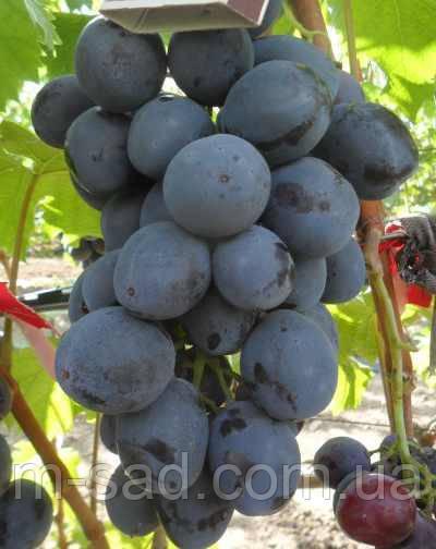 Саженцы винограда РУСЛАН(ранний,грозди крупные,-24)