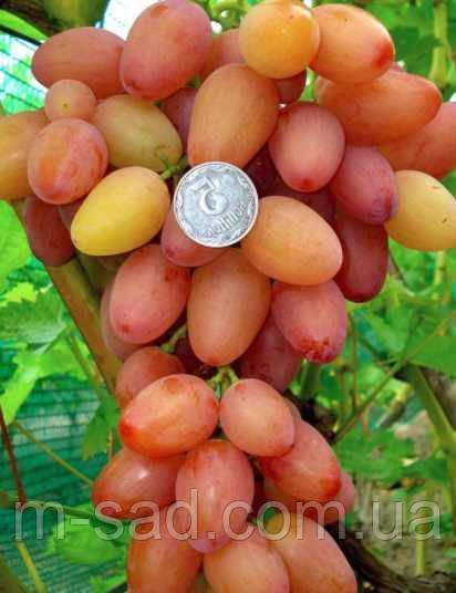 Саженцы винограда СОФИЯ(ранний,крупный,опылитель Аркадия,-21)