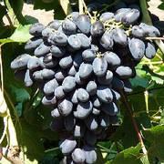 Саженцы винограда АТОС(сверхранний,морозостойкость-23)