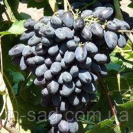Саженцы винограда АТОС(сверхранний,морозостойкость-23), фото 2
