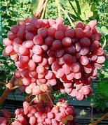 Саженцы винограда ВЕЛЕС(-21,бессемянный,ранний)