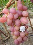 Саженцы винограда РУТА(очень ранний,крупный,вкус приятный гармоничный,-22)