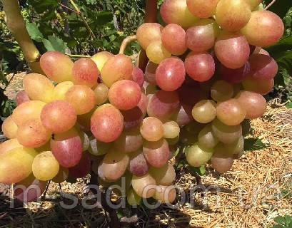 Виноград  ТАСОН(вкус мускатный,очень ранний,-22)